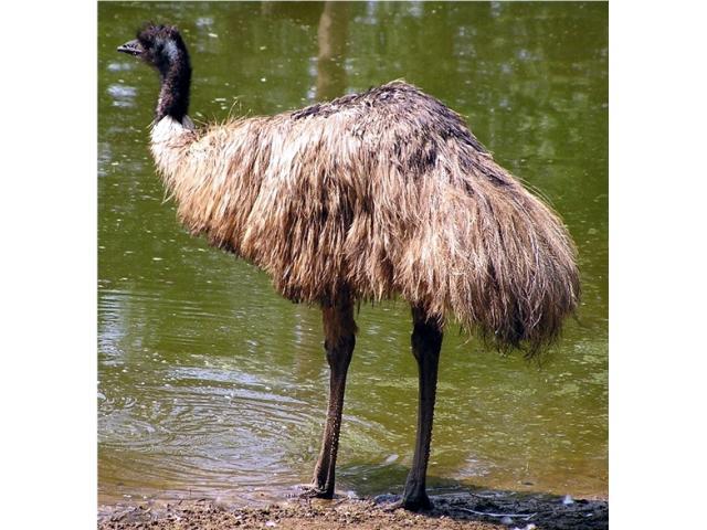 Sprzedam strusie EMU